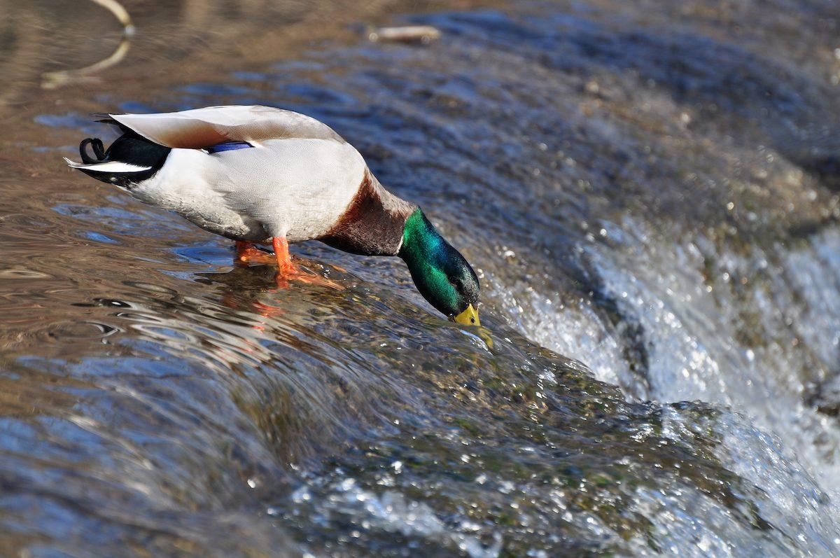 mallard duck, types of ducks