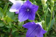 Blue Flowers Bellflower