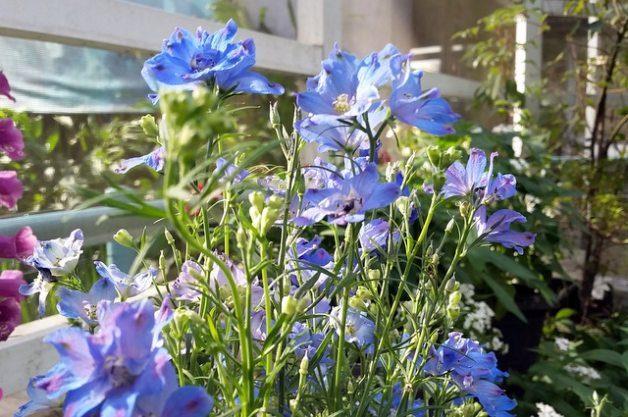 Blue Flowers Delphinium