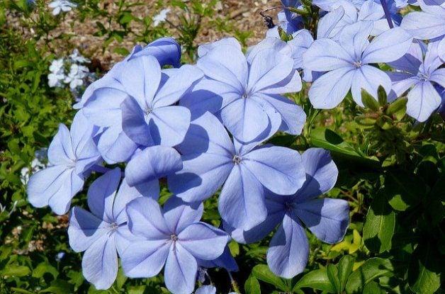 Blue Flowers Plumbago