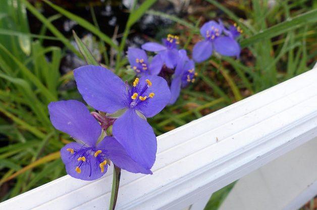 Blue Flowers Spiderwort