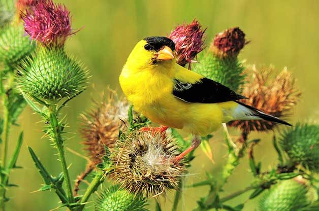 Goldfinches use their small beaks to eat tiny, tough thistle seeds.