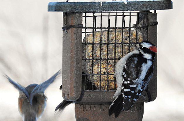 Downy woodpecker Nikon