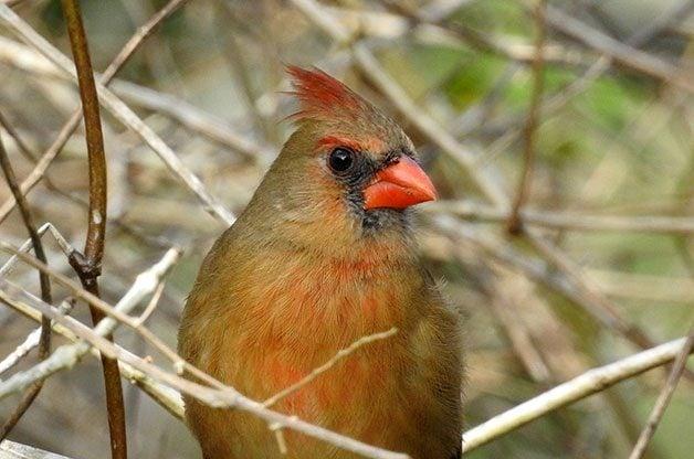 Female northern cardinal Nikon