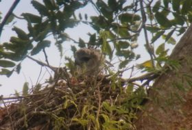 An Adventure to See a Nesting Harpy Eagle