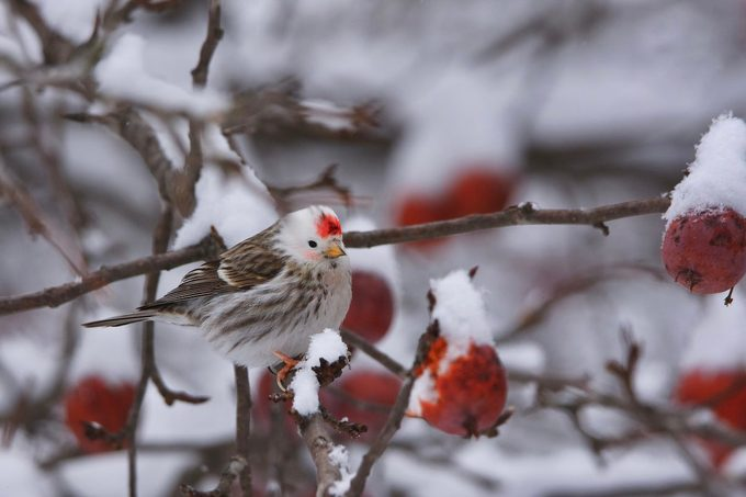 Leucistic redpoll bird
