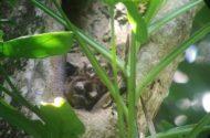 My First Panamanian Night Monkey