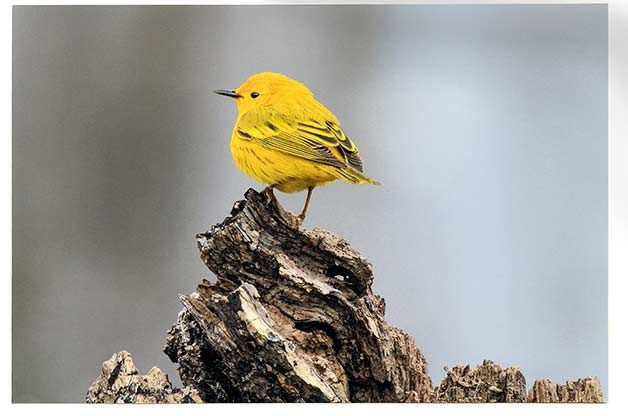 A yellow warbler is one of the most common warblers to see at Biggest Week.