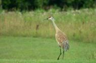 Sandhill Crane Migration is Underway