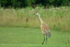 Sandhill Crane Migration is Underway