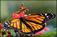 Western Monarch Populations