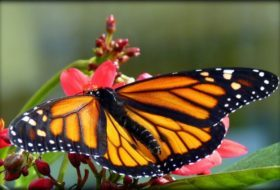 Tracking Western Monarch Populations