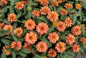 The Perfect Plant: How All-America Selections Designs New Plants