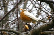 Not every white bird is albino. It's more common for birds to have partial albinism, like this robin does.
