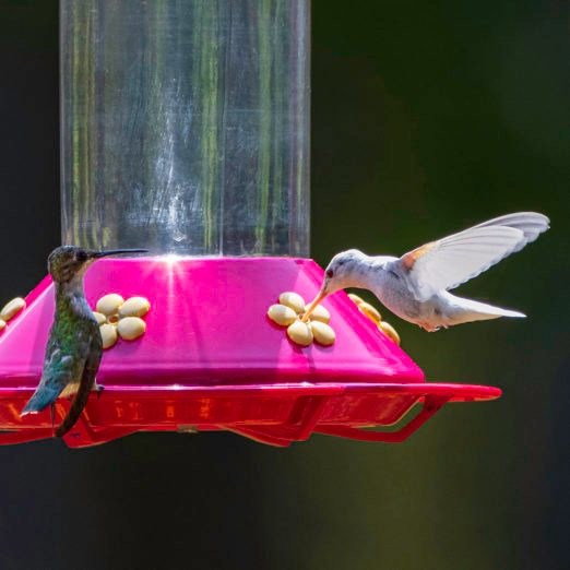 Rare White Hummingbird Sightings Dazzle Birdwatchers