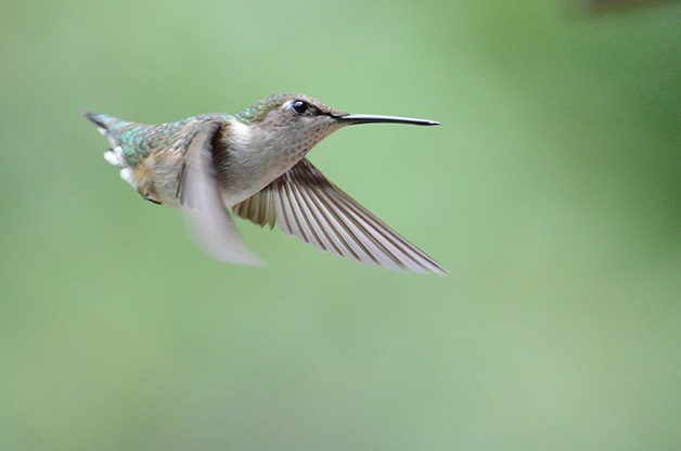 Hummingbirds use their thin bills to catch small insects.