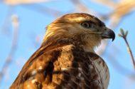 A sharp hook helps a hawk eat its dinner.