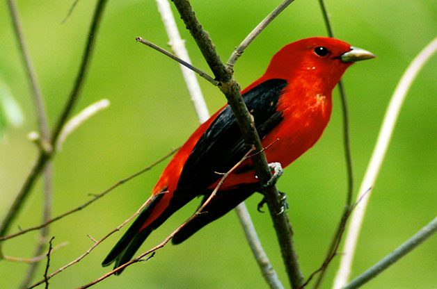 The male scarlet tanager loses his bright red coloring in fall, molting to an olive green.