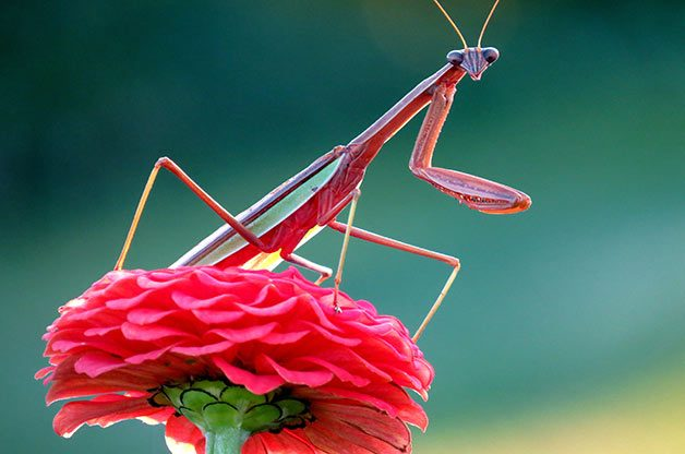 A praying mantis sits pretty in pink on top of a zinnia.