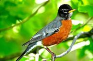 male American robin sitting in tree