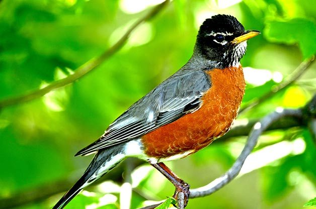 male American robin sitting in tree