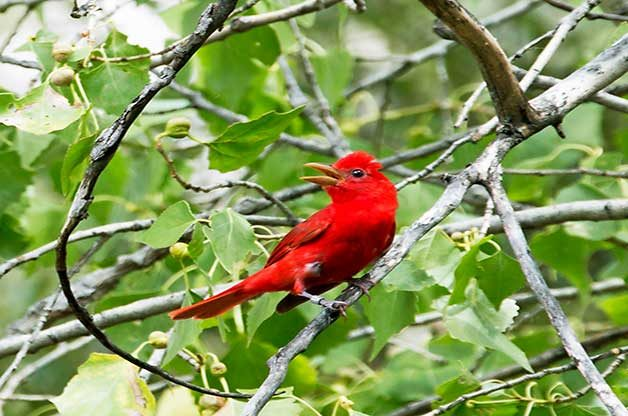 This summer tanager is commonly found in southern woods.
