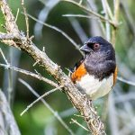 Meet the Towhees: The Birds Scratching Up a Storm in your Backyard