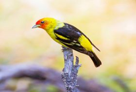 4 Vibrant Tanager Species to Know