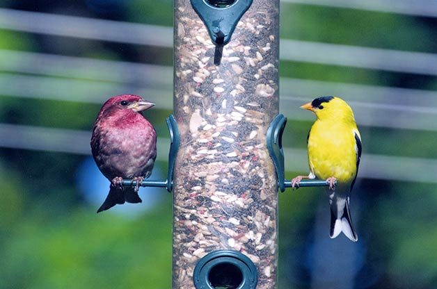 purple finch and goldfinch
