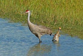 Caption This: Sandhill Crane Peek-a-Boo
