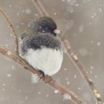 8 Cool Facts About Dark-Eyed Juncos