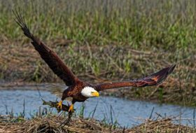 7 Cool Facts About Bald Eagles