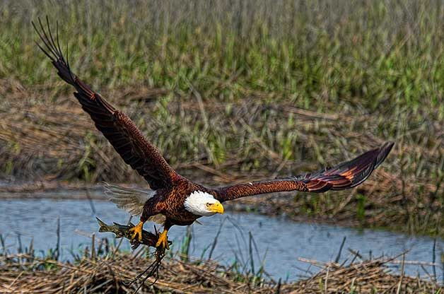 7 Cool Facts About Bald Eagles Birds And Blooms