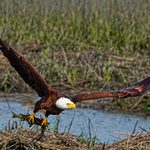 7 Interesting Bald Eagle Facts