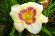 Growing Daylilies 2
