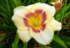 Growing Daylilies: Tips and Five to Try