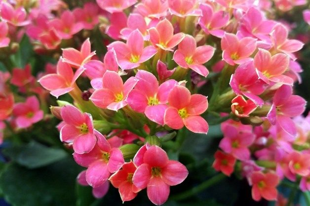 Growing Kalanchoe Indoors and Out | Flower Gardening on solanum blooming plant, orchids blooming plant, kalanchoe blooming time, violet blooming plant,