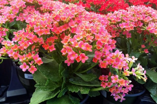 Growing Kalanchoe Indoors And Out Flower Gardening