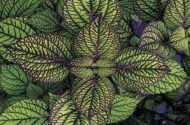Top 10 Colorful Coleus Favorites