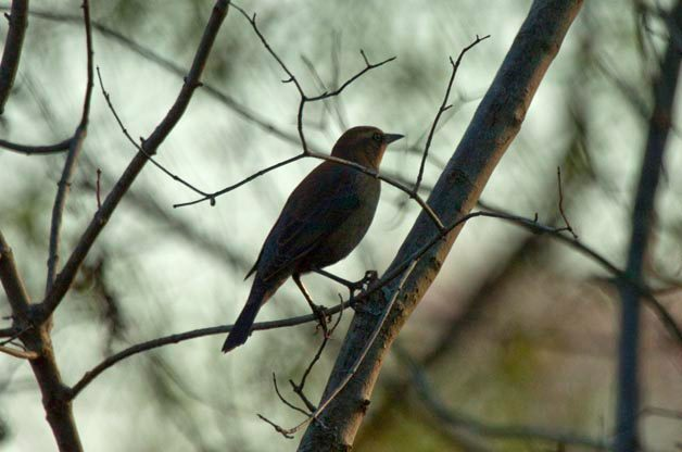 Looking for Rusty Blackbirds This Spring