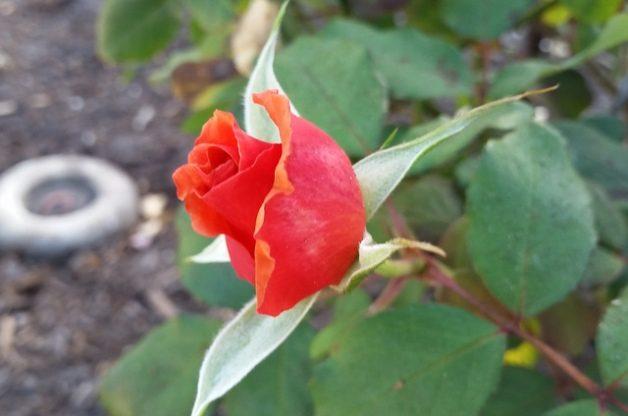 Tuscan Sun Rose