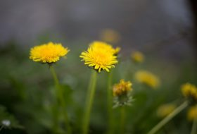 7 Surprising Facts About Dandelions