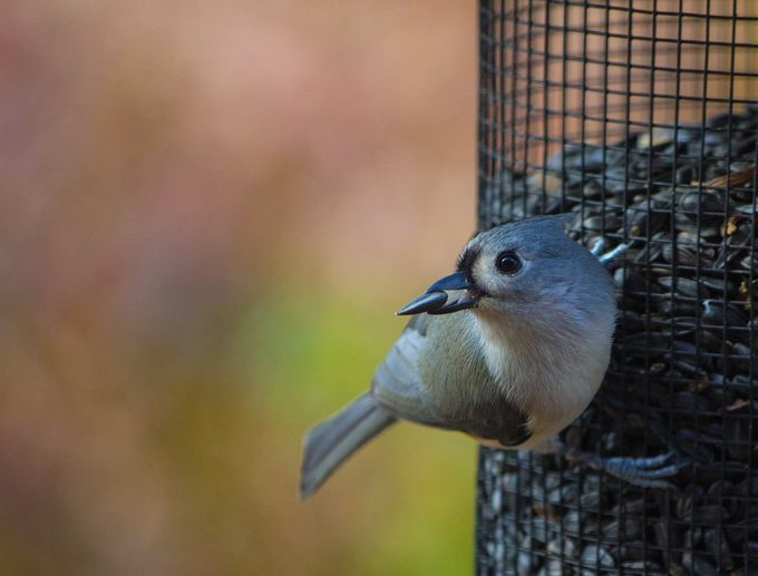 titmouse eating sunflower seed