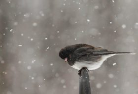 8 Cool Snowbird Facts About Juncos