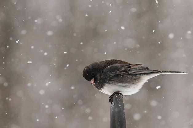 8 cool snowbird facts about juncos birds and blooms