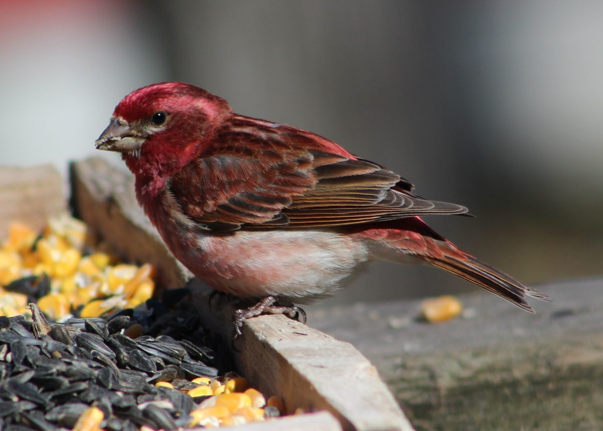 purple finch at a tray feeder