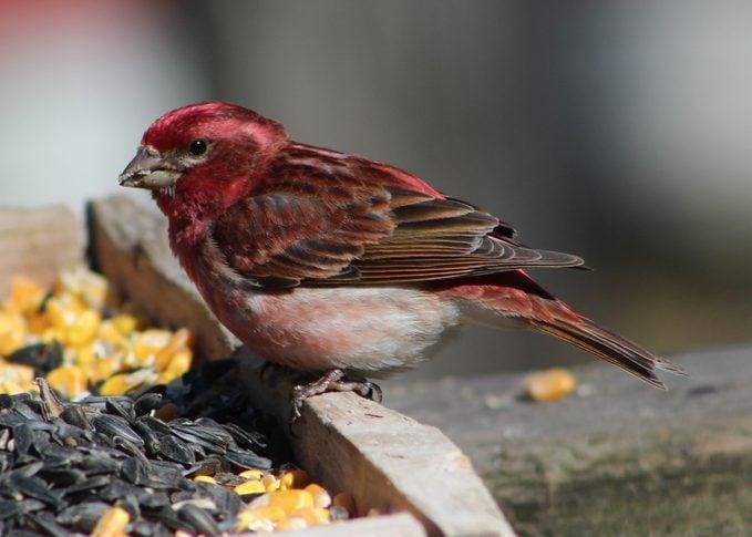 purple finch at a tray feeder