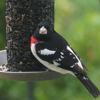 types of bird feeders, rose-breasted grosbeak at a tube feeder