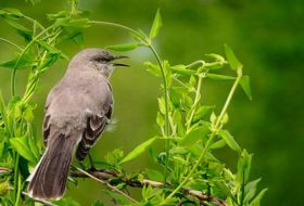 Attract Northern Mockingbirds to Your Backyard