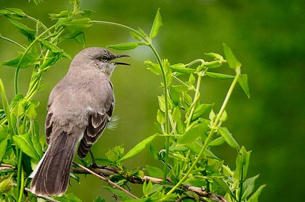 Attract Northern Mockingbirds to Your Backyard - Birds and ...